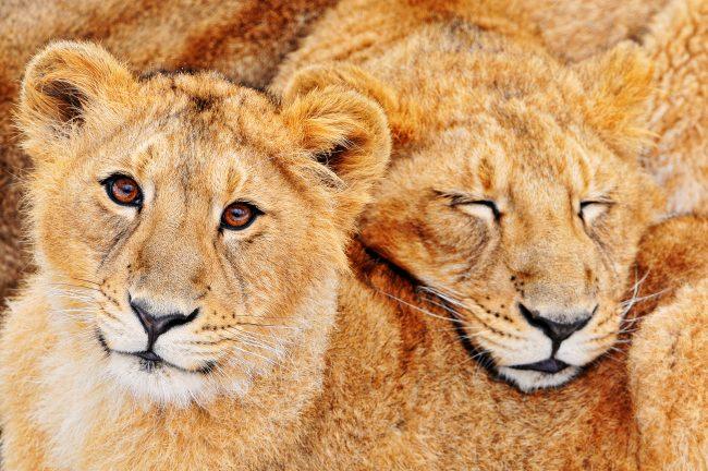 親子で寝るライオン